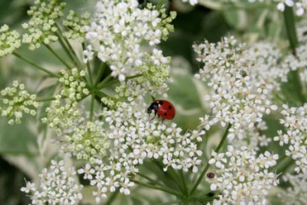 Ladybug on Wild Chervil